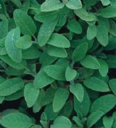 Sage Broad leaved Appx 150 seeds - Herbs
